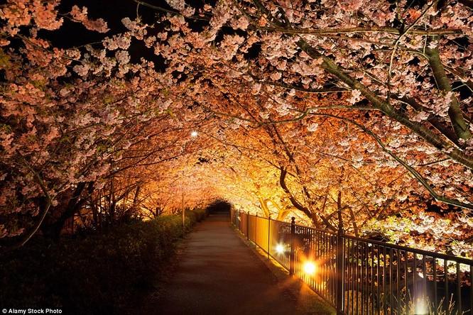Lối đi nở tràn hoa anh đào tại Shizuoka, Nhật Bản