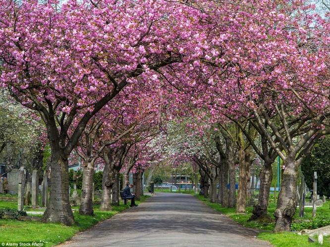 Lối nhỏ dưới rặng cây trổ đầy hoa ở London, Anh