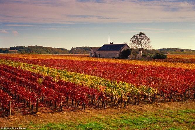 Ngay cả những cánh đồng nho ở thung lũng sông Loire, Pháp cũng thổn thức trước mùa thu