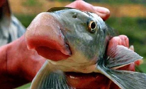 Những loại cá bán đắt 'như vàng' ở Việt Nam ảnh 1