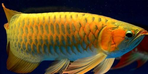 Những loại cá bán đắt 'như vàng' ở Việt Nam ảnh 3