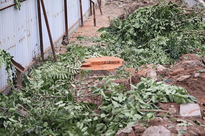 Hà Nội lại chặt hạ hàng loạt cây cổ thụ để làm đường ảnh 1