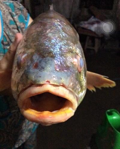 Bắt được cá sủ vàng tiền tỷ trên sông Đồng Nai ảnh 2