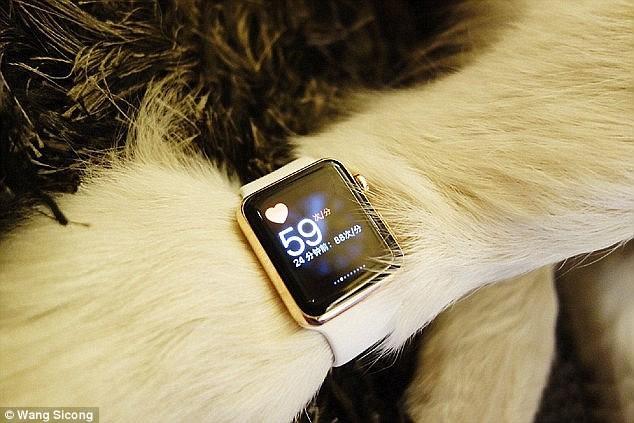 Chú chó đeo đồng hồ Apple Wath gây bức xúc dư luân Trung Quốc