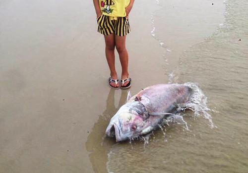 Hoang mang do cá biển chết trắng dọc 4 tỉnh miền Trung ảnh 2