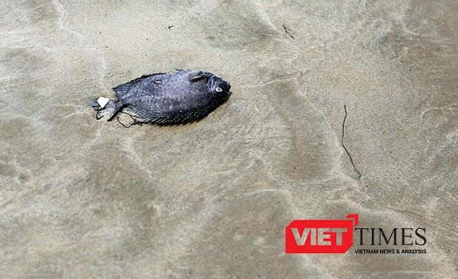 Cá chết dạt tới bờ biển Đà Nẵng, sở TN-MT chưa biết ảnh 9
