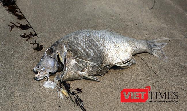 Một con cá hanh chừng 2-3kg chết trong tình trạng thối rửa dạt vào bờ biển Đà Nẵng