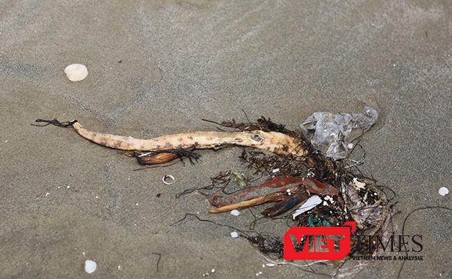Cá chình biển chết dạt vào bờ