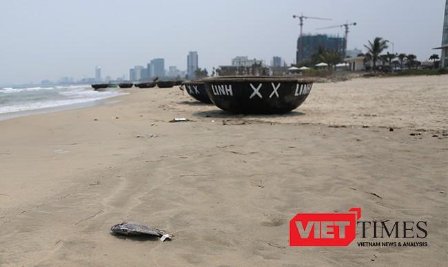 Một cá thể cá dìa biển nặng chừng 1kg chết dạt vào bờ
