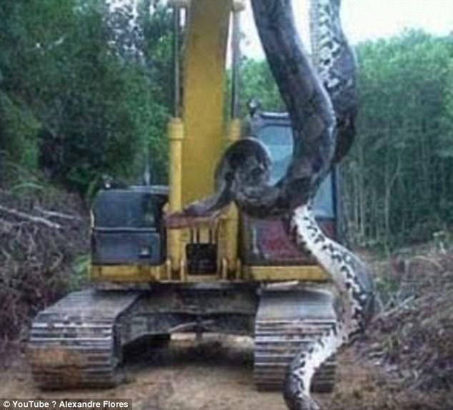 Phải dùng máy xúc mới nâng nổi quái vật rùng già Nam Mỹ
