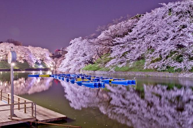Mùa hoa anh đào Nhật Bản ảnh 1