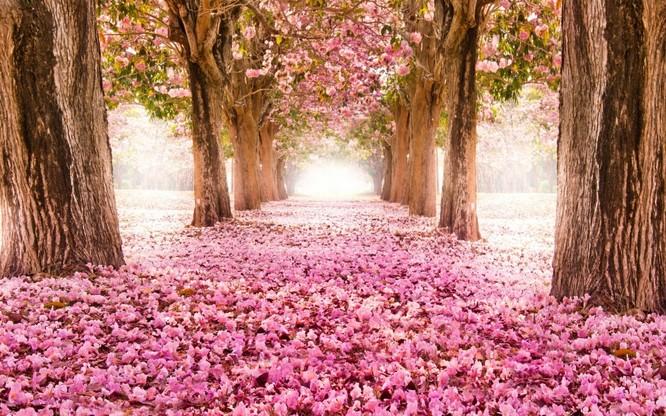 Mùa hoa anh đào Nhật Bản ảnh 2