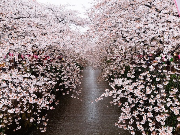 Mùa hoa anh đào Nhật Bản ảnh 15