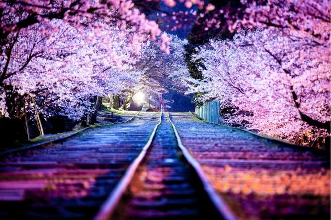 Mùa hoa anh đào Nhật Bản ảnh 3