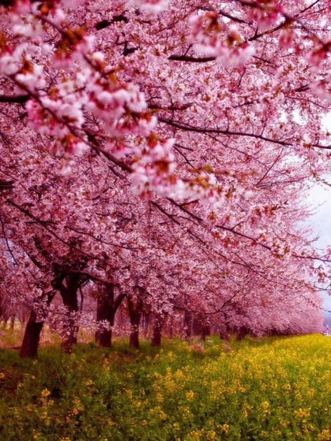 Mùa hoa anh đào Nhật Bản ảnh 16
