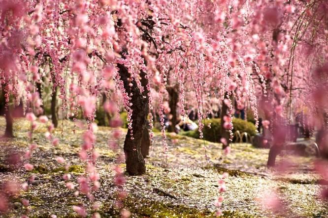 Mùa hoa anh đào Nhật Bản ảnh 4