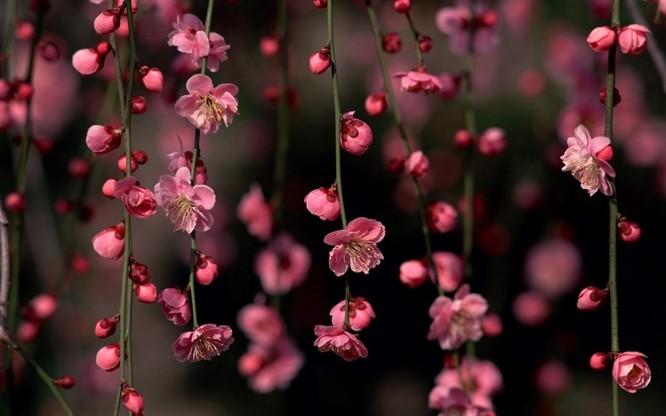 Mùa hoa anh đào Nhật Bản ảnh 7