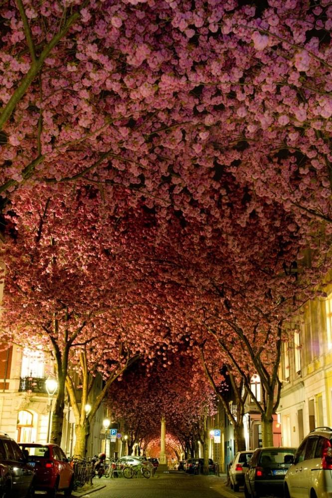 Mùa hoa anh đào Nhật Bản ảnh 17