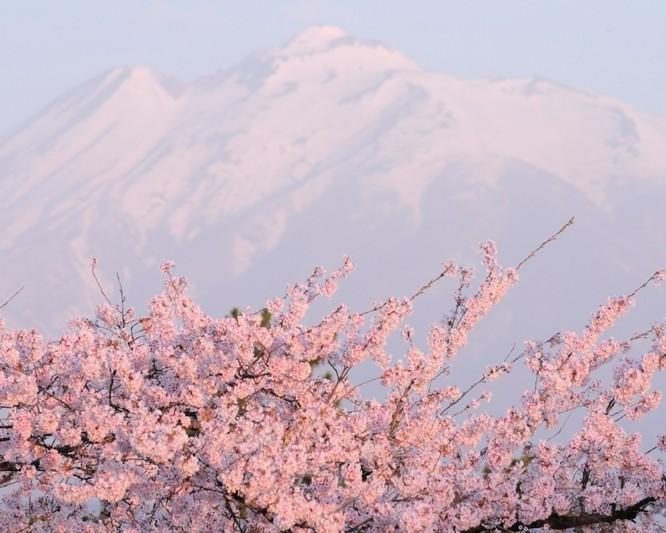 Mùa hoa anh đào Nhật Bản ảnh 9