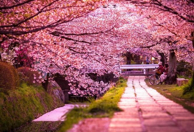 Mùa hoa anh đào Nhật Bản ảnh 11