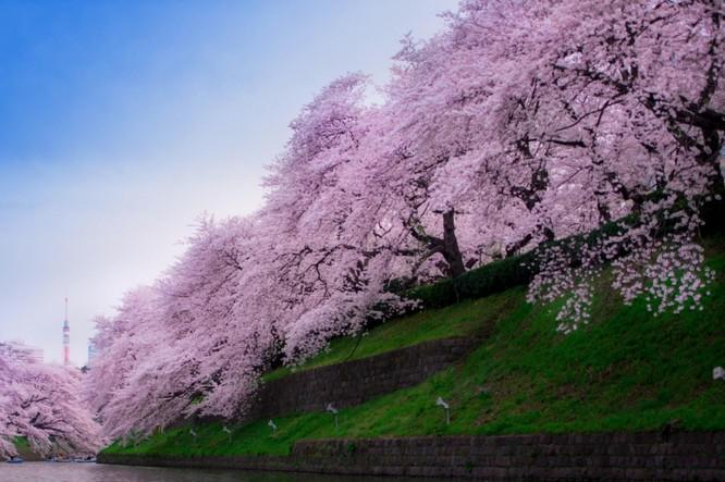Mùa hoa anh đào Nhật Bản ảnh 13