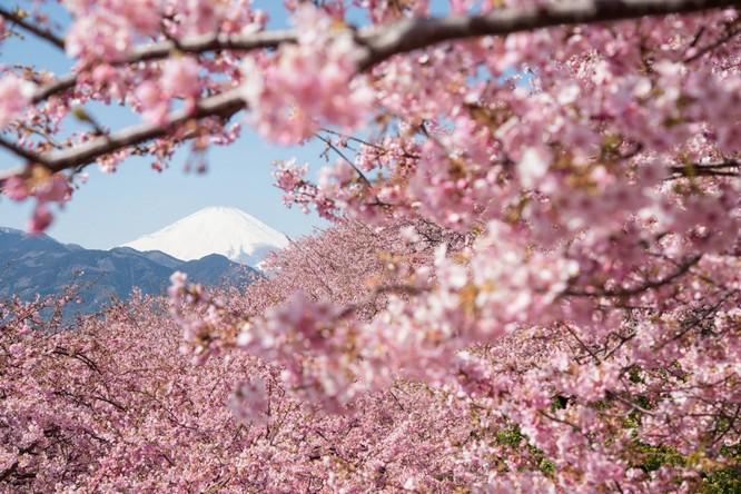 Mùa hoa anh đào Nhật Bản ảnh 14