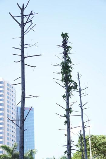 Hà Nội bàn phương án thay thế cây mỡ trên đường Nguyễn Chí Thanh ảnh 2