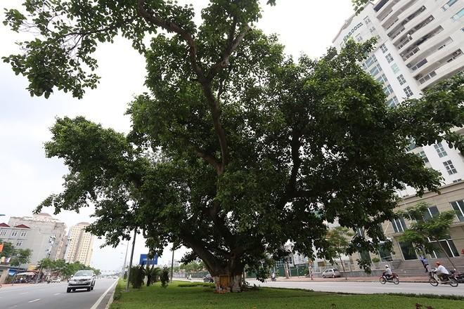 Đường hơn 6.000 tỷ đồng 'né' cây đa cổ thụ ảnh 7