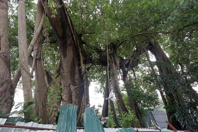 Đường hơn 6.000 tỷ đồng 'né' cây đa cổ thụ ảnh 2
