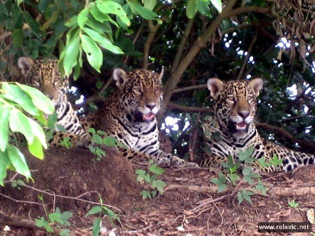 Kỳ thú khu tự nhiên hoang dã Pantanal - Brazil ảnh 40