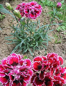Ý nghĩa các loài hoa dành cho cư dân @ nhân Ngày Quốc tế Phụ nữ 8/3 - Ảnh 11