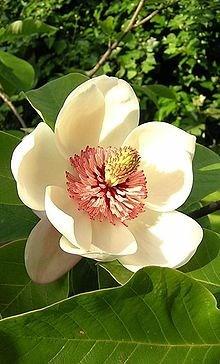 Ý nghĩa các loài hoa dành cho cư dân @ nhân Ngày Quốc tế Phụ nữ 8/3 - Ảnh 18