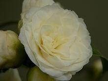 Ý nghĩa các loài hoa dành cho cư dân @ nhân Ngày Quốc tế Phụ nữ 8/3 - Ảnh 24