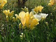 Ý nghĩa các loài hoa dành cho cư dân @ nhân Ngày Quốc tế Phụ nữ 8/3 - Ảnh 26