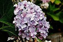 Ý nghĩa các loài hoa dành cho cư dân @ nhân Ngày Quốc tế Phụ nữ 8/3 - Ảnh 31