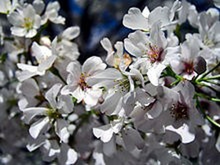 Ý nghĩa các loài hoa dành cho cư dân @ nhân Ngày Quốc tế Phụ nữ 8/3 - Ảnh 6