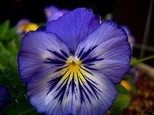 Ý nghĩa các loài hoa dành cho cư dân @ nhân Ngày Quốc tế Phụ nữ 8/3 - Ảnh 7