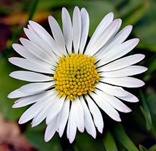 Ý nghĩa các loài hoa dành cho cư dân @ nhân Ngày Quốc tế Phụ nữ 8/3 - Ảnh 9