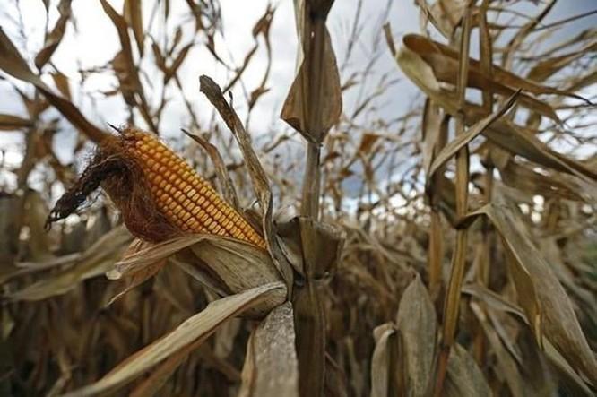 Hệ quả của công nghệ biến đổi gene trong nông nghiệp tại châu Phi ảnh 1