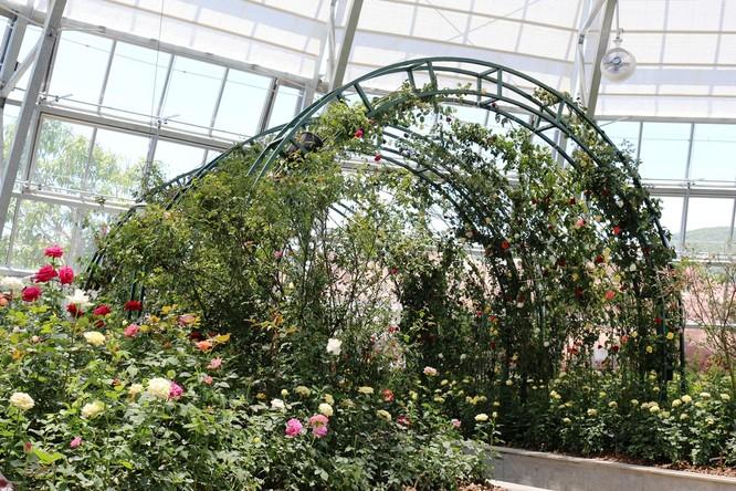 Vườn hồng rực rỡ với hàng trăm giống hồng, trong đó có hàng chục loài hoa hồng cổ quý hiếm