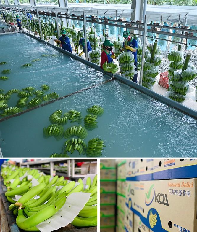 Dây chuyền sản xuất chuối KDA tại Đắk Lắk.