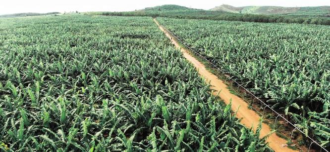 Trang trại chuối KD Green Farm của Tập đoàn KDI Holdings.