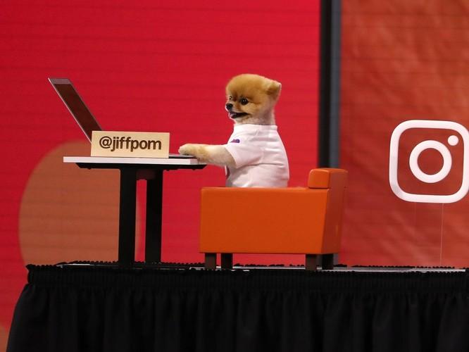 Chú chó Jiff Pom nổi tiếng ra sao mà được xuất hiện trong sự kiện lớn nhất năm của Facebook? ảnh 5