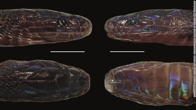 Phát hiện loài rắn mới với lớp vảy ngũ sắc óng ánh ở Việt Nam ảnh 1