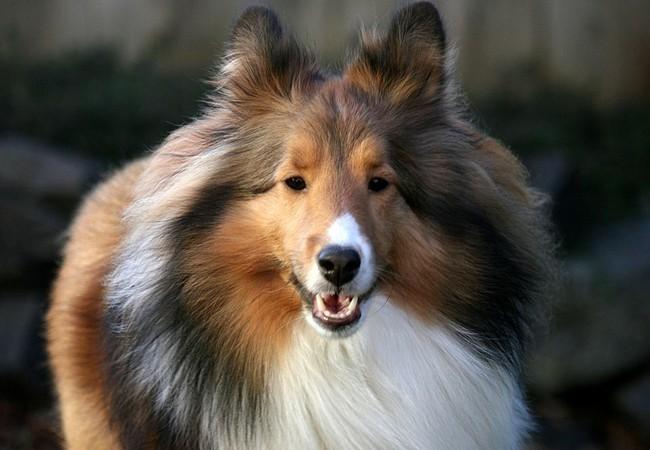 Tết Mậu Tuất nói chuyện về 10 giống chó thông minh nhất thế giới ảnh 5
