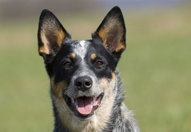 Tết Mậu Tuất nói chuyện về 10 giống chó thông minh nhất thế giới ảnh 7