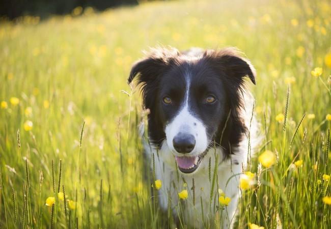 Tết Mậu Tuất nói chuyện về 10 giống chó thông minh nhất thế giới ảnh 10