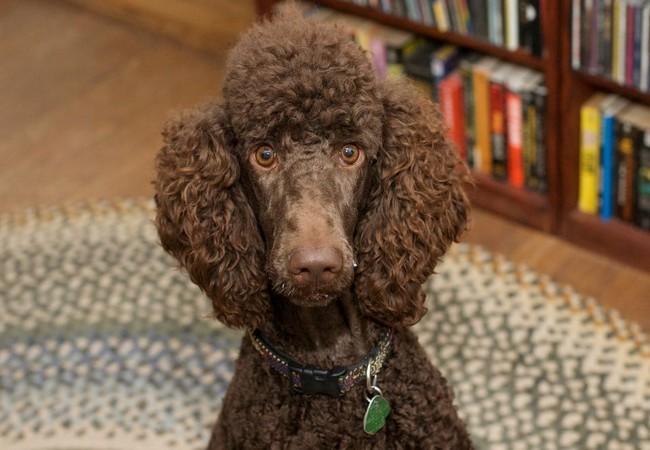 Tết Mậu Tuất nói chuyện về 10 giống chó thông minh nhất thế giới ảnh 8