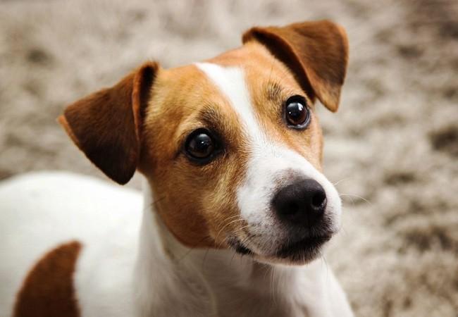 Tết Mậu Tuất nói chuyện về 10 giống chó thông minh nhất thế giới ảnh 2