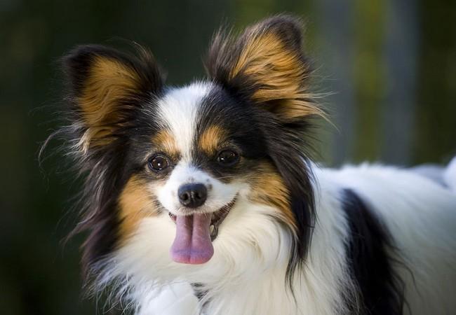 Tết Mậu Tuất nói chuyện về 10 giống chó thông minh nhất thế giới ảnh 4